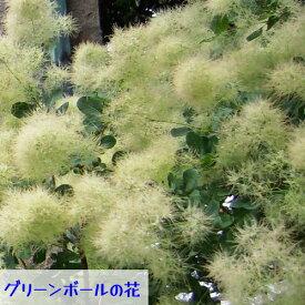 モクモク不思議な煙の木 スモークツリー 4種類 グリーンボール、ベストピンク、グレース、ルプリフォリウス 7号鉢