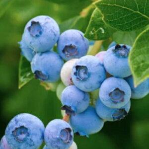 果樹苗 ブルーベリー 苗木 ラビットアイ系の6種類から選べる! 5号鉢3〜4年生の充実物 果樹苗木 落葉樹