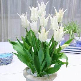 チューリップ サッポロ 6球パック 秋植え球根 冬植え球根 春咲き セット