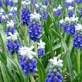 ムスカリ タッチオブスノー 10球パック秋植え 冬植え 春咲き 球根 イングリッシュガーデン セット
