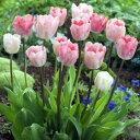 チューリップ ガンダーラプソティー 一重咲きプランター1杯分のチューリップ 全国送料無料20球パック秋植え 冬植え 春…