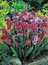 バビアナ カラフルミックス ミックス10球パック秋植え 冬植え 春咲き 球根 イングリッシュガーデン