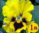 パンジーフリル咲き フリズルシズルイエロー10.5cmサイズ大ポット1ポットパンジー ビオラ すみれ 苗 寄せ植え