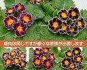 宿根草 フリル咲のプレミアム・プリムローズ(プリムラジュリアン)茜色の空 1株冬咲き 鉢植え 庭植えガーデニング 寄…