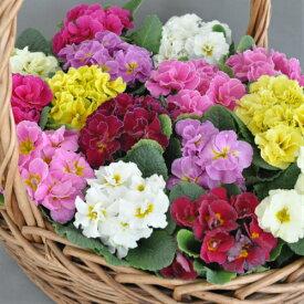 八重咲き大輪 宿根プリムラ アコーリス ペチコート 選べる6色 1株