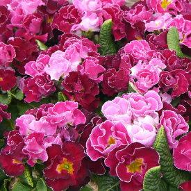 バラ咲きプリムラ パーティードレス 1株 花苗 冬咲き 宿根草 苗 鉢植え 庭植え ガーデニング 寄せ植え等に