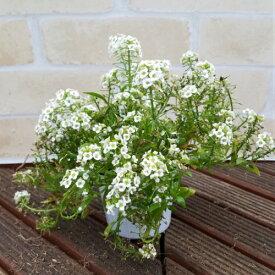 アリッサム ホワイト 2ポットセット すぐに寄せ植えでパフォーマンスを発揮するわんさか状態 花苗 多年草 苗 ガーデニング 秋 冬
