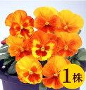 ビオラマリア オレンジスライス10.5cmサイズ大ポット1ポットパンジー ビオラ すみれ 苗 寄せ植え