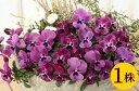 よく咲くスミレラズベリー10.5cmサイズ大ポット1ポットパンジー ビオラ すみれ 苗 寄せ植え