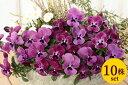 よく咲くスミレラズベリー10.5cmサイズ大ポット10ポットセットパンジー ビオラ すみれ 苗 寄せ植え