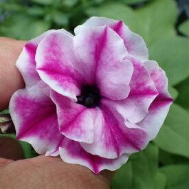 ペチュニア 桃ふたえ 1株 寄せ植え 季節の花苗 イングリッシュガーデンに