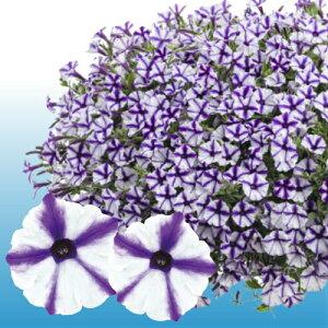 ペチュニア スーパーチュニア ミニ ブルースター 1株 寄せ植え 季節の花苗 イングリッシュガーデンに