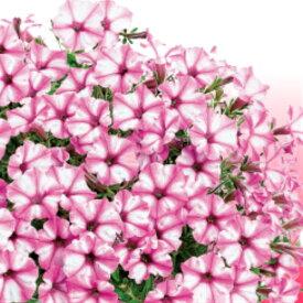 ペチュニア スーパーチュニア ミニ ピンクスター 1株 寄せ植え 季節の花苗 イングリッシュガーデンに