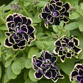 ペチュニア 花衣シリーズ 黒真珠 1株 M&Bフローラ 寄せ植え 季節の花苗 イングリッシュガーデンに