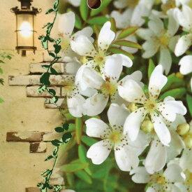 芳香高い一重咲 木香バラ(モッコウバラ) 白色12cmポット長尺物(全高約60cm) モッコウバラ 苗
