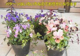 楽天1位世界にひとつだけの花・ミックス寄せ植えではありません幼苗の段階から同じポットの中で育てて来ました珍しいビオラを中心に4〜5種のお花が一緒に育ってきました10.5cmポット 苗 花の苗