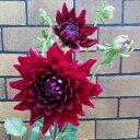 毎年咲くよ 宿根ダリア 黒蝶直径12cmポット蕾&開花状態秋植え 秋開花 寄せ植え 花苗 ガーデニング