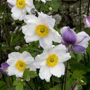二季咲きバイカラー秋明菊(シュウメイギク) アネモネラッフルドスワン1株