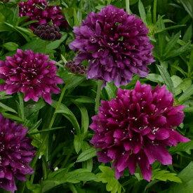 スカビオサ(西洋松虫草) ジェラード ブルーベリー 1株 宿根草 切り花 寄せ植え イングリッシュガーデンに