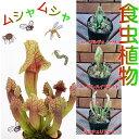 食虫植物サラセニア 意外と簡単な観葉植物の1種なのです3種から選んでください各1ポット