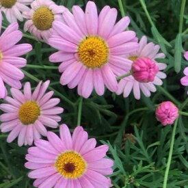 花苗 チョコレートマーガレット チョコレートの香り漂うマーガレット 1株 宿根草 栄養系 花の苗 寄せ植え 切り花 季節の花苗 珍しい イングリッシュガーデンなどに