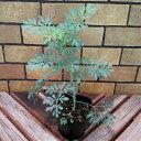 猫が嫌う猫よけにもなる草 ハーブ ルー(ヘンルーダ) 1株猫よけ 害虫対策 観葉植物として