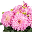 ガーデン ダリア マキシ サリナス1株宿根草 栄養系 切り花 鉢花 イングリッシュガーデン等に