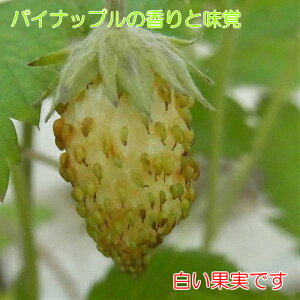 パイナップルの様な香りと味覚のイチゴ(いちご) トロピカルアロマ ポット苗1個 いちご苗 四季なり 白実イチゴ ワイルドストロベリー 小粒
