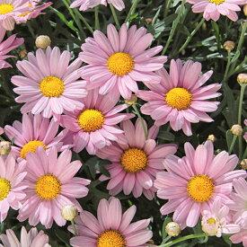 マーガレット ローリー 一重のかわいいピンクのマーガレット 1株 花苗 宿根草 栄養系 苗 花の苗