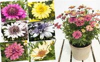 ☆ダブル咲で豪華、しかもちょっと変わった花色も特徴の新しいオステオスペルマムダブルファンシリーズ5種から選べます1株9cmポット苗【05P05Nov16】