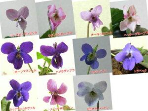 ニオイスミレ(においすみれ) 一重咲き コレクション 1株香り フレグランス ガーデニング 花苗 寄せ植えに