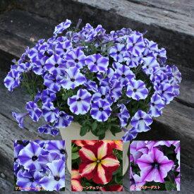 ペチュニア 五つ星コレクション その1 くっきりはっきりのストライプが人気のポイント 1株で広がります 1ポット 寄せ植え 季節の花苗 イングリッシュガーデンに