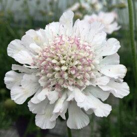 大輪スカビオサ アメジストスノー 1株耐寒性宿根草 イングリッシュガーデン 季節の花苗 寄せ植えに
