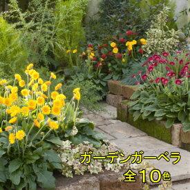宿根ガーデンガーベラ ガルビネア選べる10色 1株