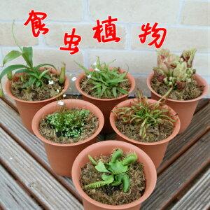 食虫植物 捕食パターンは4種・植物は6種から選べます 4号鉢(水苔処理) 食虫植物 観葉植物 耐寒性多年草