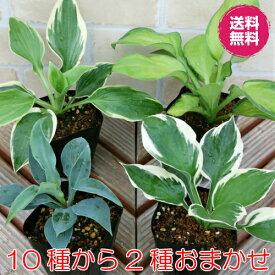 ホスタ(ギボウシ) お任せ2種でお買い得 *送料無料※北海道、九州は別途送料がかかります。シェードガーデン 日陰 丈夫で増える