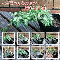 ☆アイビー(ヘデラ)コレクション8種から選んでください1株宿根草寄せ植え室内園芸ツル性グランドカバー壁面緑化観葉植物イングリッシュガーデンに
