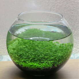 癒やされる水草栽培キット ガラス容器・ボタニカルソイル・水草の種セット 室内インテリア グラスリウム テラリウム ミニ観葉植物