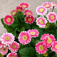 ガーベラプリテイピンク1株コンパクトタイプ色の濃淡はあります宿根草グラデーションカラーイングリッシュガーデン【N】
