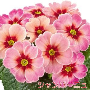 プリムラ ジュリアンジュピターシャンパーニュ1株 花苗 冬咲き 宿根草 苗 鉢植え 庭植え ガーデニング 寄せ植え等に