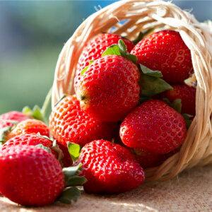 イチゴ ( いちご ) トスカーナポット苗1個 四季なり いちご 苗