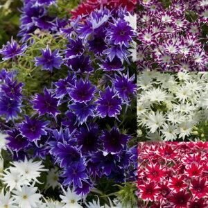 フロックス ポップスター 選べる4色各1株 鉢植え 庭植え 寄せ植え イングリッシュガーデン