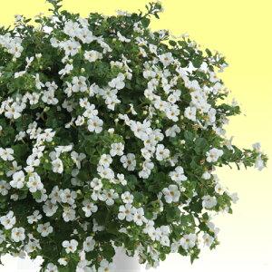 ステラ スコピア(バコパ) ガリバー ホワイト 1株 宿根草 寄せ植え グランドカバー 季節の鉢花に