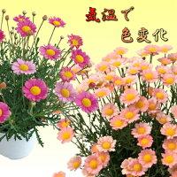 マーガレット梅ソーダ開花時期で花色が変わります1株宿根草栄養系【N】