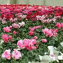 シクラメン福袋 シクラメン おまかせお買い得 5号鉢2個セット 色品種完全おまかせ シクラメン 鉢花 シクラメンの花 *…