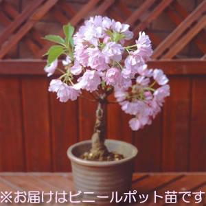 楽天1位 一才桜(桜盆栽) (盆栽桜) ポット苗