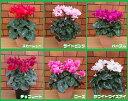 矢祭園芸オリジナル 八重咲き香りシクラメン「チモ」5号鉢植え*送料無料・他品同梱不可・お届け先地域によっては別途…