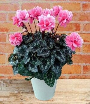 11月中旬以降お届け予約品矢祭園芸が開発したシクラメン薔薇咲きシクラメンローセスローズ5号ロング鉢送料無料・他品同梱不可※お届け先によっては別途送料が発生する場合があります