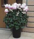 【予約販売】矢祭園芸が開発したシクラメン ローゼスピンクバイカラー 5号ロング鉢送料無料・他品同梱不可*お届け先…