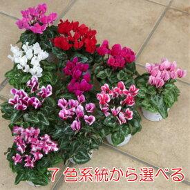 ミニ・ガーデンシクラメン 元気いっぱいこの状態 選べる7系統から1株販売です寄せ植え 花苗 ガーデニング 秋 冬 春